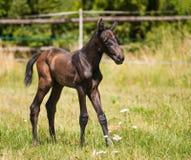 Portret van één dag oud veulen van sportpaard royalty-vrije stock foto's