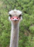 Portret van één mannelijke struisvogel die direct kijker bekijken Stock Afbeelding