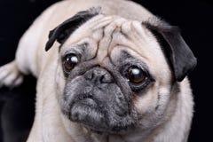 Portret van aanbiddelijke Zwabbers of Pug Royalty-vrije Stock Foto's