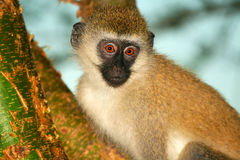 Portret van aap in de wildernis Royalty-vrije Stock Foto