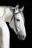 Portret van aardig paard op zwarte achtergrond Royalty-vrije Stock Afbeelding
