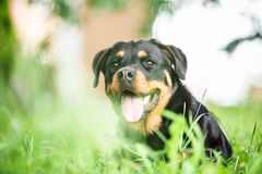 Portret van aardige Rottweiler Royalty-vrije Stock Foto