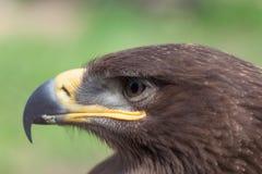 Portret van adelaar Stock Foto's