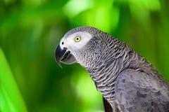 Portret van Afrikaanse grijze papegaai tegen wildernisachtergrond Royalty-vrije Stock Foto