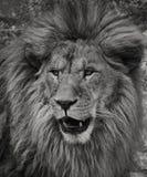 Portret van Afrikaanse Leeuw Stock Afbeelding