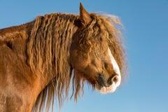 Portret van Agar-agar, Belgisch paard Boheems-Moravian in zonnige dag Tsjechische Republiek royalty-vrije stock foto's