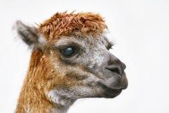 Portret van alpaca stock foto's