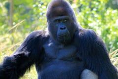 Portret van alpha- mannelijke gorilla Stock Foto's