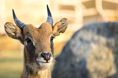 Portret van antilope Royalty-vrije Stock Afbeelding
