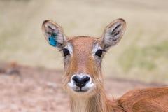 Portret van antilope met de scherpte op de ogen Stock Foto's