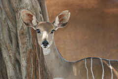 Portret van antilopekudu Royalty-vrije Stock Foto's