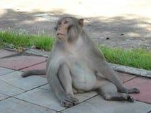 Portret van apen rond Udon Thani, in Noordoosten Thailsn Stock Afbeeldingen