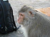 Portret van apen rond Udon Thani, in Noordoosten Thailsn Stock Fotografie