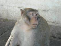 Portret van apen rond Udon Thani, in Noordoosten Thailsn Stock Foto