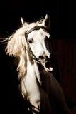 Portret van Arabisch paard Royalty-vrije Stock Afbeeldingen