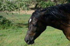 Portret van Arabisch pur-bloedpaard Stock Foto