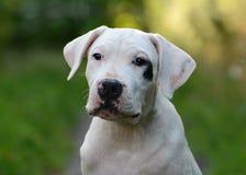 Portret van argentino van puppydogo Stock Foto