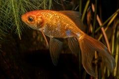 Portret van auratus van Carasius van weerhaakvissen in aquarium Royalty-vrije Stock Fotografie