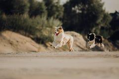 Portret van Australische die herdershond op zand in werking wordt gesteld stock fotografie