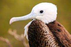 Portret van Baby Prachtige Frigatebird op het Noorden Seymour Island royalty-vrije stock afbeeldingen
