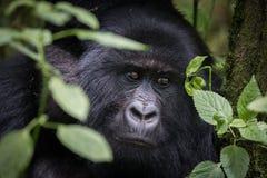 Portret van berggorilla stock afbeeldingen
