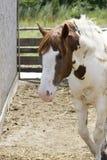 Portret van bevlekt paard Royalty-vrije Stock Foto's
