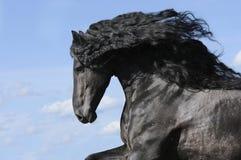 Portret van bewegend friesian zwart paard Stock Afbeeldingen