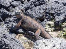 Portret van bizarre Marine Iguana, Amblyrhynchus-cristatushassi, Santa Cruz, de Galapagos, Ecuador stock afbeeldingen