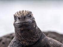 Portret van bizarre Marine Iguana, Amblyrhynchus-cristatushassi, Santa Cruz, de Galapagos, Ecuador royalty-vrije stock foto's