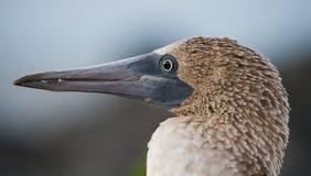 Portret van blauw-betaalde domoren De eilanden van de Galapagos vogels ecuador Stock Fotografie