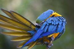 Portret van blauw-en-gele ara (Aronskelkenararauna) Stock Foto