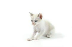 Portret van blauw-eyed die kat op witte achtergrond wordt geïsoleerd Royalty-vrije Stock Afbeelding