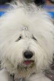 Portret van Bobtail Royalty-vrije Stock Foto's