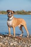 Portret van bokserhond Stock Afbeelding