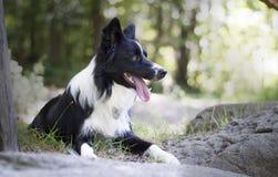 Portret van border collie-puppy het ontspannen onder rotsen Stock Afbeelding
