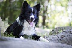 Portret van border collie-puppy het ontspannen onder rotsen Stock Afbeeldingen
