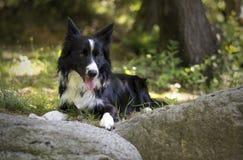 Portret van border collie-puppy het ontspannen onder rotsen Royalty-vrije Stock Foto