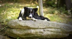 Portret van border collie-puppy het ontspannen onder rotsen Royalty-vrije Stock Fotografie