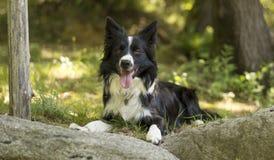 Portret van border collie-puppy het ontspannen onder rotsen Stock Foto