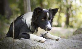 Portret van border collie-puppy het ontspannen onder rotsen Stock Fotografie