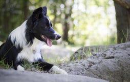 Portret van border collie-puppy het ontspannen onder rotsen Royalty-vrije Stock Foto's