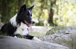 Portret van border collie-puppy het ontspannen onder rotsen Royalty-vrije Stock Afbeeldingen