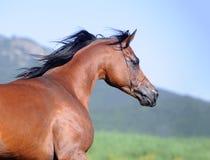 Portret van bruin Arabisch paard in motie Royalty-vrije Stock Foto's