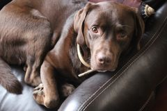 Portret van bruin, chocolade labrador retriever Stock Afbeelding