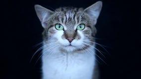 Portret van bruin-eyed die kat op witte achtergrond wordt geïsoleerd stock video