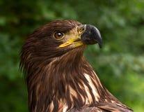 Portret van Bruin Gouden Eagle op een Groene Onscherpe Achtergrond Stock Fotografie