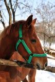 Portret van bruin paard Royalty-vrije Stock Foto's