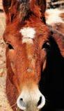 Portret van bruin paard Stock Fotografie