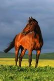Portret van bruin paard op zonsondergang Stock Afbeelding