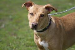 Portret van bruine Amerikaanse Staffordshire bull terrier Royalty-vrije Stock Afbeelding
